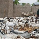 Second Phase of Handing Over of Sheep and Goats Is On Going